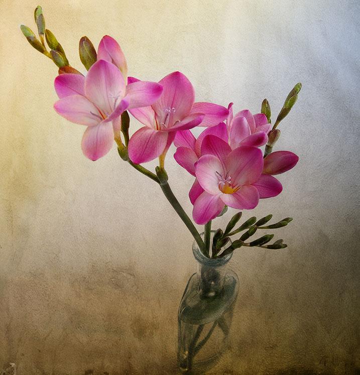 گل، صورتی، نقاشی،