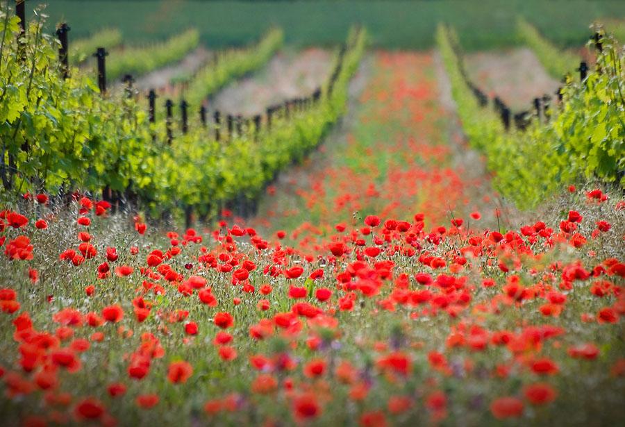 لاله، شقایق سرخ، دشت گل، بهار، طبیعت، گلــ ــها،