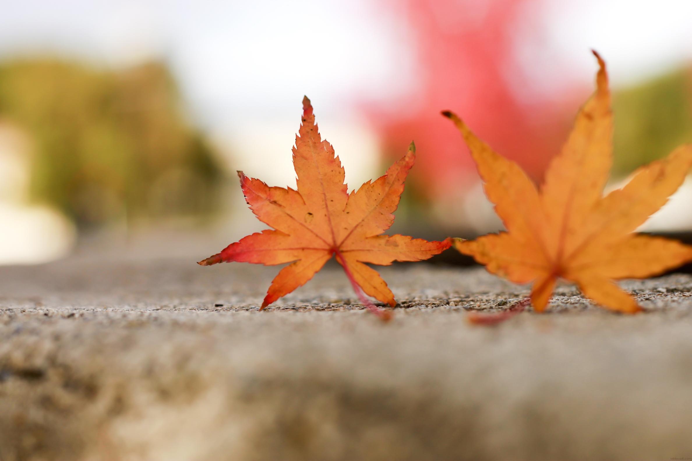 پاییز، برگ های پاییزی، نارنجی، زرد، autumn leaf،طبیعت، رنگی-رنگارنگ، پایــیـــز،